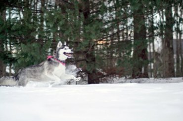 Siberian Husky, snow