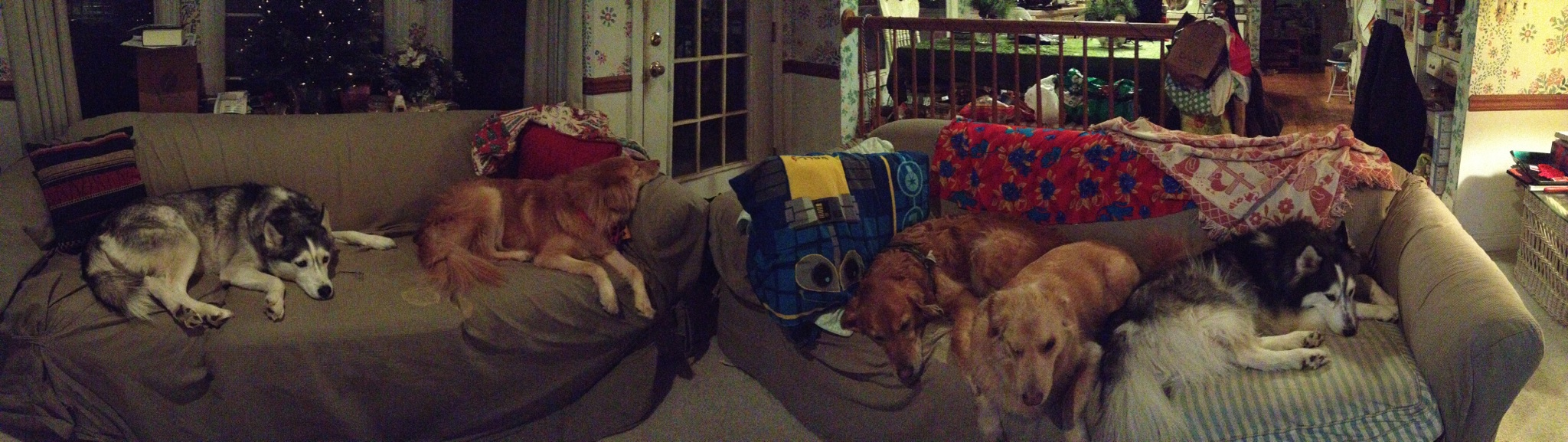 All 5 dogs in a Thanksgiving food coma