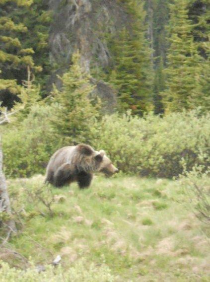 Animal attacks, trail running, ultra running, bear attack, boar attack, cougar attack, Bigfoot, bear bells